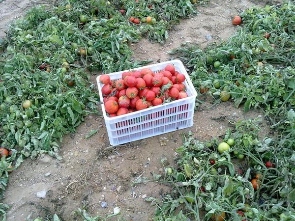 درخواست خرید گوجه رومن صادراتی